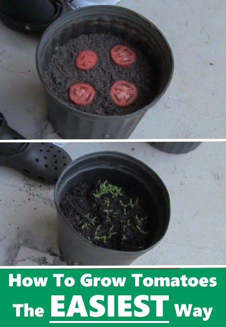 How To Grow Tomatoes – The Easy Way | Posted by: SurvivalofthePrepped.com