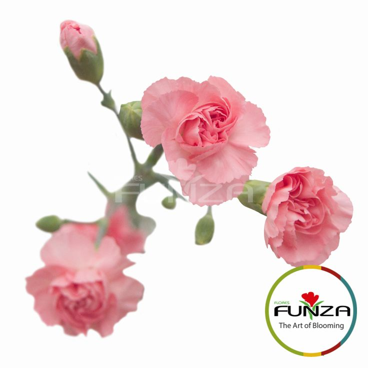 Pink Spray Carnation from Flores Funza. Variety: Euphoria. Availability: Year-round.