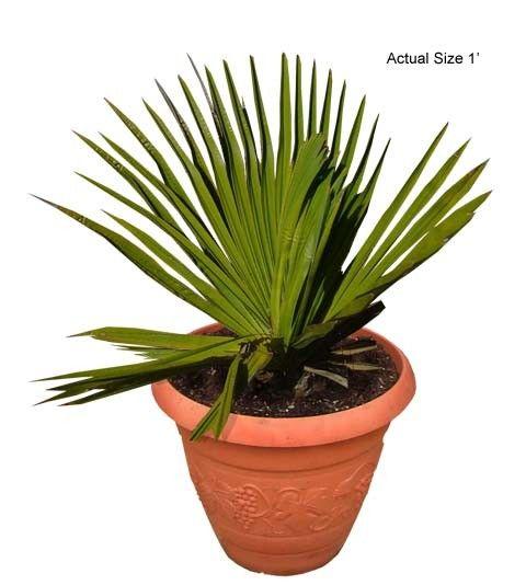 Small Cuban Petticoat Palm Tree - Copernicia macroglossa (Web) Buy Palm Trees and Plants - Buy Plants Online at RealPalmTrees.com RealBonsaiTrees.com or RealOrnamentals.com #PalmTreeGifts #DIY2015 #BonsaiTrees #MiamiBonsai #big #2015PlantIdeas #Summer2015Plants #Ideas #BeautifulPlant #DIYPlants #OutdoorLiving #decoratingareasideas
