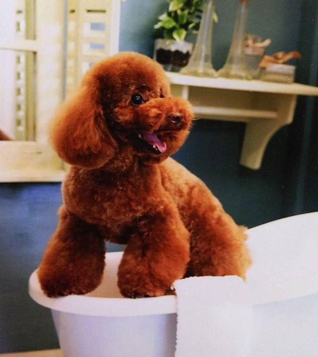 愛犬モコちゃんのお風呂シリーズ  お風呂出まーす☺️ #もふもふ#lovely#親バカ部 #アニマル写真部#可愛い#犬 #dog#わんこ#フォロー#いぬ#愛犬 #ふわもこ部#イヌ #トイプードルレッド#ふわふわ#にこにこ #トイプー#love#癒し#犬のいる暮らし#犬のいる生活 #いいね#フォロバ#フォローミー#女子#幸せ#トイプードル#犬がいる生活#大好き