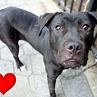 Pictures of Criss a Pit Bull Terrier for adoption in New York, NY who needs a loving home.