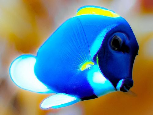 Powder Blue Tang, tropical waters of Indian Ocean