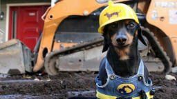 Sausage dogs are now stealing construction jobs
