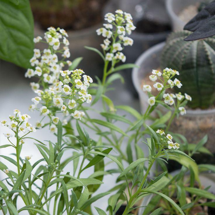 Цветение алиссума в домашних условиях