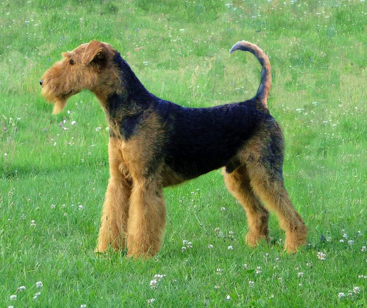 Airedale Terrier – Wikipedia