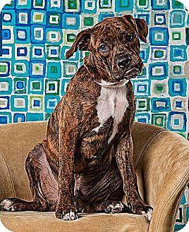 08/11/16-Houston, TX - Boxer/Bulldog Mix. Meet Henry, a puppy for adoption. http://www.adoptapet.com/pet/16178482-houston-texas-boxer-mix