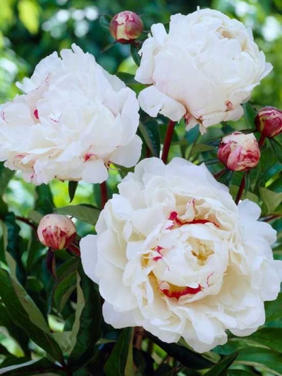 Paeonia lactiflora 'Festiva Maxima' , Edel-Pfingstrose günstig bestellen-Pfingstrose - Paeonia - Schnittstauden - Stauden - Baumschule New Garden- Baumschule NewGarden