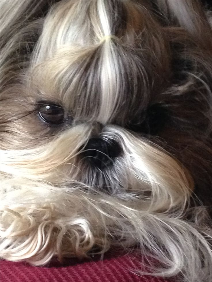 1000 Images About Shih Tzu S And Other Lovely Puppies On