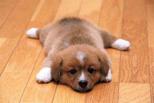 <3Awww, Little Puppies, Dogs, Sweets, Pets, Corgis Puppies, Box, Things, Adorable Animal