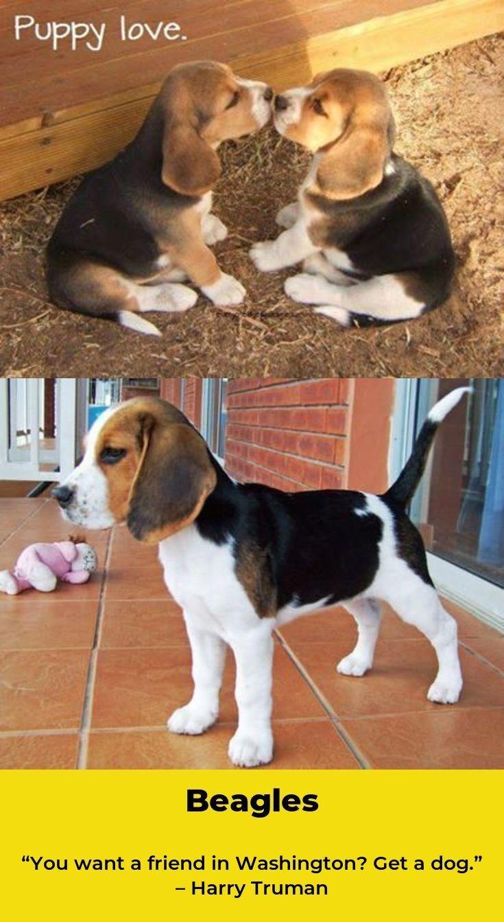 Beagle Beaglelove Beagles Training Beagle Beagle Dog Cute Animals