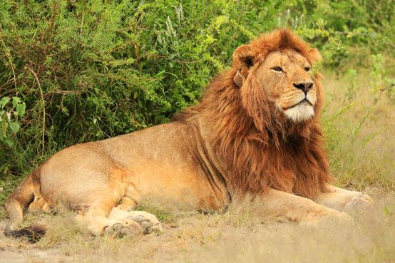 Beautiful big lion, Ndutu, Serengeti, Tanzania