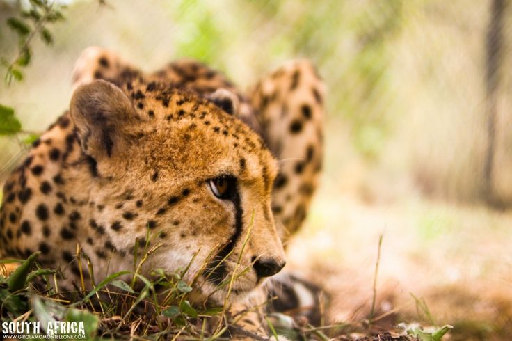 #Ghepardo. South Africa foto di Girolamo Monteleone