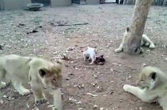 Пес породы джек-рассел-терьер отогнал львят от куска мяса (ВИДЕО)