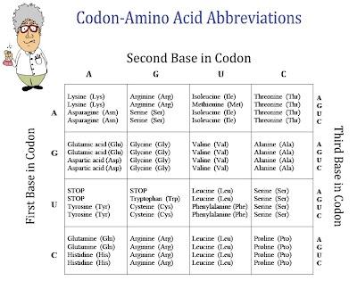FREE Chart of Amino Acids and Codons Classroom freebies - amino acid chart