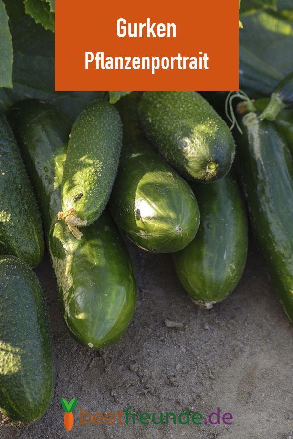 Gurken Anzucht Pflege Und Verwendung Beetfreunde De Gurke Pflanzen Gurken Anbauen