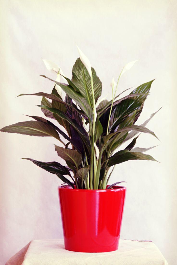 171 best spathiphyllum spatifilyum images on pinterest. Black Bedroom Furniture Sets. Home Design Ideas