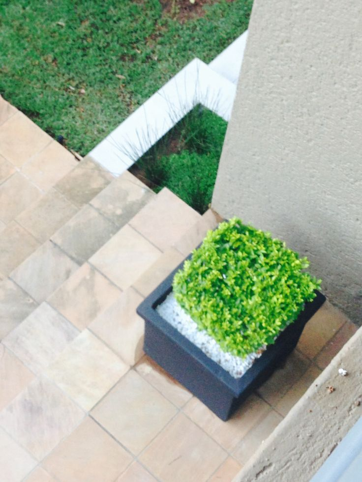 Square pots with shaped shrubs adds to the contemporary feel of the garden.