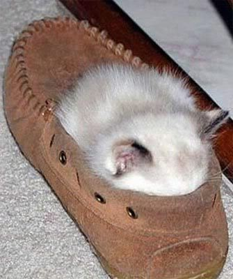 Slippers, Shoes, Funny Dogs, Sleepy Kitty, Funny Cat, Naps Time, Funny Animal, Kittens, Cat Photos