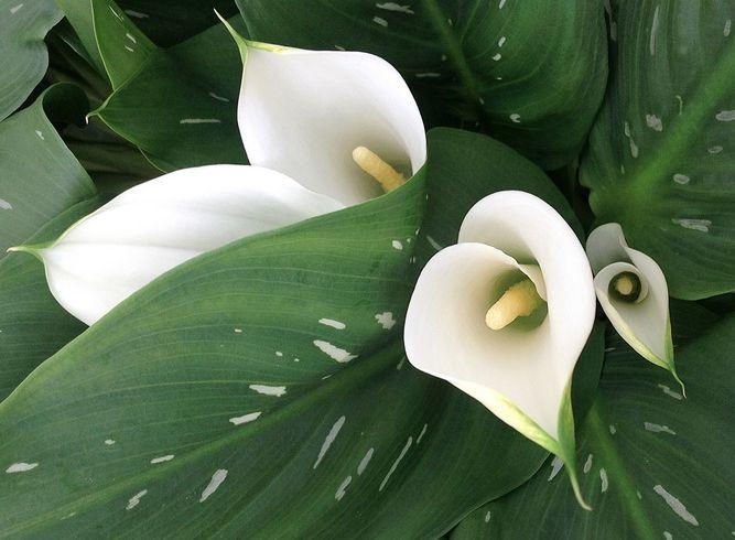 цветные каллы нельзя путать с общеизвестной каллой эфиопской, которая дает белые ('Auckland', 'Colambe De La Paix', 'Little Gam', 'Nicolai', 'Perlvon Stuttgart', 'Senone Zweibriickerin', 'White Swan' ) и бело-зеленые ('Green Godness') цветы с диаметром покрывала до 15 см, а высота срезанного цветка которой может достигать 1 м и более. У эфиопской каллы на срезку идут и листья.