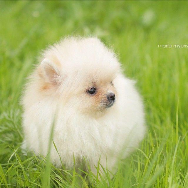 Кремовая малышка. Девочка померанского шпица. Крошечная, шерстяная, супер-короткая мордочка. Без недостатков. ❗️Pomeranian puppy for sale 🎈Поподробнее о щенке можно узнать по тел: +7 926 164 9404, Viber/What'sApp #pom #puppy #pomerania #pomeranian #puppyforsale #avallable #puppyofinstagram #boo #dog #spitz #zvergshpitz #щенок #щенокшпица #щенкивинстаграм #щенокпомеранскогошпица #пом #питомник #померанец #продажашпица #померанскийшпиц #собака #минишпиц #бу #белыйшпиц #белыйпомеранец #шпиц…