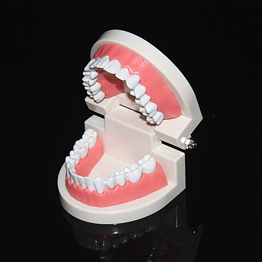 teeth model Tooth models mouth Oral Care child kids brushing Teaching Study Model Adult Standard Typodont Demonstration
