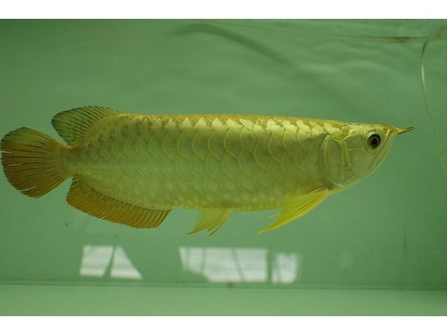 24K Golden Asian Arowana Fish For Sale - Animals - Houston - Texas - announcement-80455