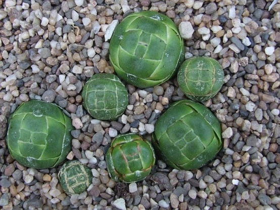 1537 best c ctus y crasas images on pinterest plants cacti and succulents and flowers - Cool succulent plants ...