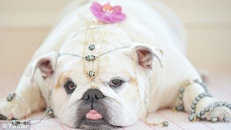 RIP: Bianca Howardstern, French Bulldogs, Bianca Stern, English Bulldogs, Pets, Bulldogs Bianca, Howardstern Bethstern, Animal, Howard Stern