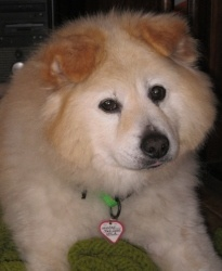 Winter is an adoptable Samoyed (Chow cross?) Dog in Santa Cruz, CA. Winter is 5 years old. The Santa Cruz SPCA's adoption package for dogs and cats includes spay/neuter, vaccinations, microchip/registration, an ID ...