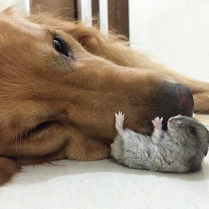 ゴールデン・レトリバーのボブは、8匹のインコ、1匹のハムスターとブラジルで仲良く暮らしている。犬と小鳥とハムスターが一緒に住めるのかって?彼らの暮らしをとらえた画像を見れば、友情は本物だって分かるはずさ。 %Slideshow-772282-list% H/T Bored Panda この記事はハフポストUS版に掲載されたものを翻訳・編集しました。 ハフポスト日本版ライフスタイルはFacebook...