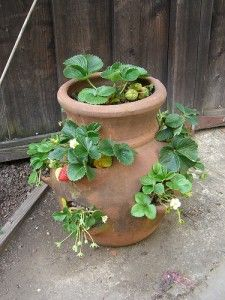 Of all the fruits, strawberries are among the easiest to grow and winterizing your potted strawberry plants will keep them happy year after year. Pots used to grow strawberries are usually made of ...