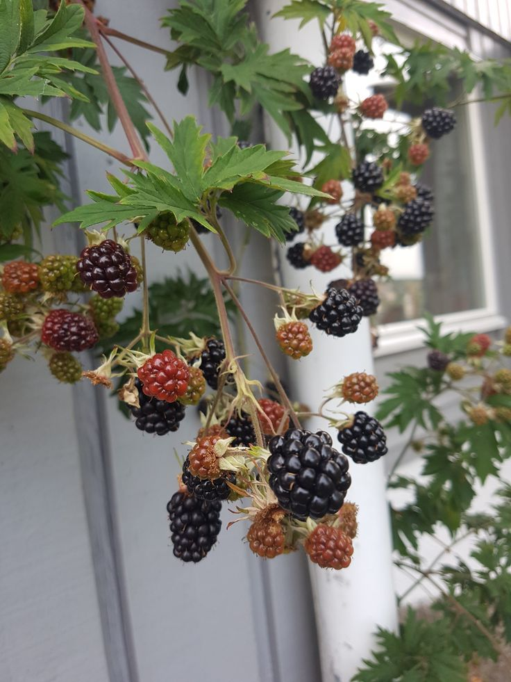Årets Bjørnebærsuksess som sorte små juveler i hagen.