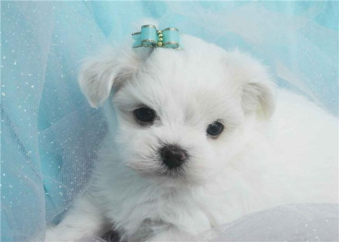 Adorable Yorkies Adorable White Yorkies Angels For Sale 200 In Phoenix Arizona Want Yorkie Pets Maltese Puppy