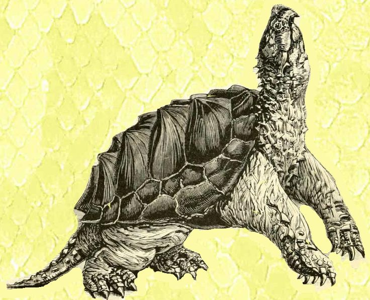 how to tell if a turtle is a snapping turtle