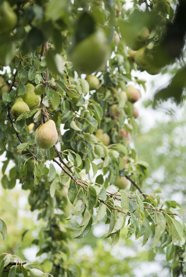 995 best dwarf fruit trees images on pinterest orchards dwarf fruit trees and fruit garden - Spring trimming orchard trees healthy ...
