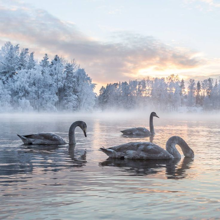 Young Whooper Swans in Finnish winter