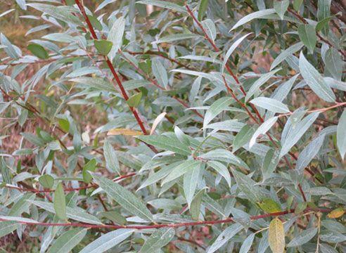 Ива белая серебристая (Salix alba f. argentea = f. regalis = Sericea = Splendens) размеры (15–25 м высотой и 8–15 м шириной). Монументальна и величественна. Мощный ствол покрыт серой корой. Сначала крона узкоколонновидная, с возрастом раскидистая, широко округлая. При условии периодической обрезки на пень можно выращивать в кустовой форме. Листья ланцетные, серебристо-серые, шелковистые, очень приятные на ощупь. Цветки желтые, с приятным ароматом