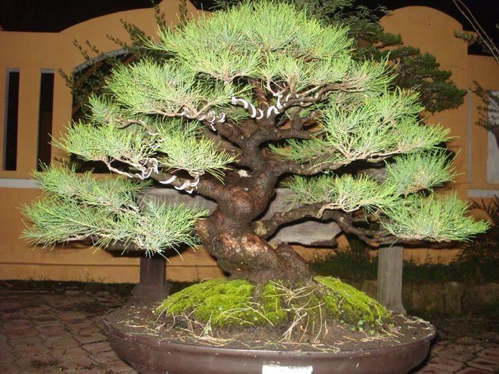 1072 Best Images About Bonsai On Pinterest Bonsai Trees