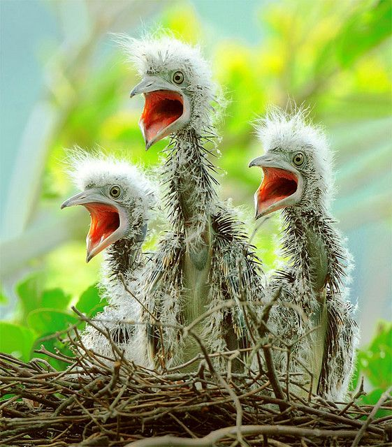 Three baby herons greeted their mother eagerly, for they knew she brought food home. Their concentration could not have been higher than that of those singing at the Choir.
