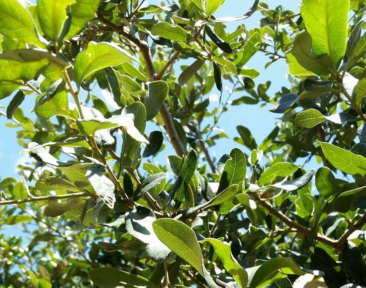Southern Live Oak Quercus virginiana Sturdy, adaptable