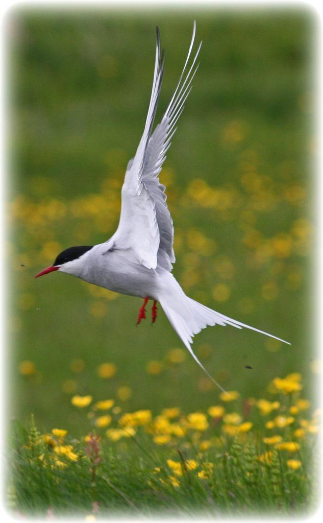 Arctic Tern