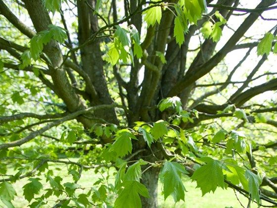 Such a great name - the Wild Service Tree - native to UK but rare, so plant some!