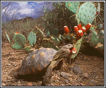 desert biome plants | in this picture is a desert tortoise and cactus ina desert biome the ...