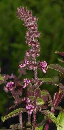 Ocimum basilicum / Basil