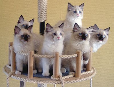 Ragdoll Kittens...any one will be welcome in this house <3