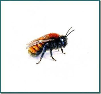 tawny mining bee ~ Pencil and Leaf