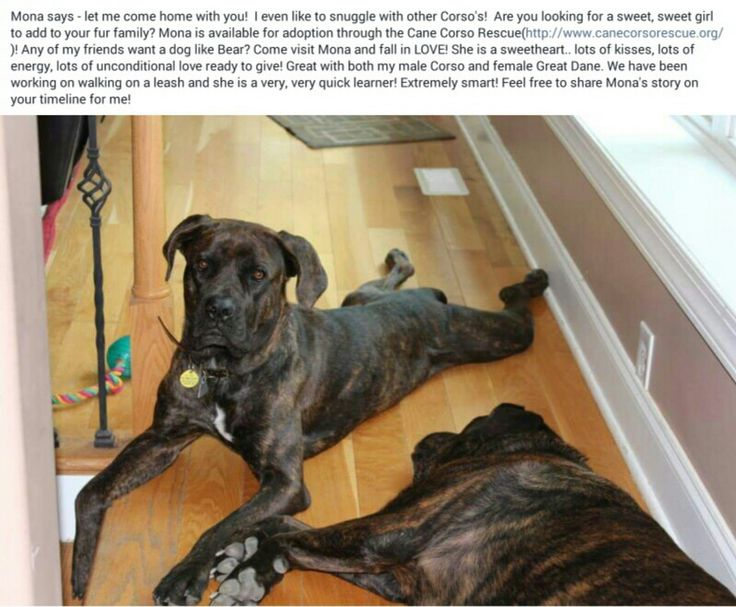 Cane Corso Rescue...post from August 4th 2015