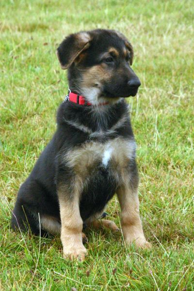 German shep puppy... My fave doggie. I am getting one when we move from the cold environment to someplace warmer!! :)