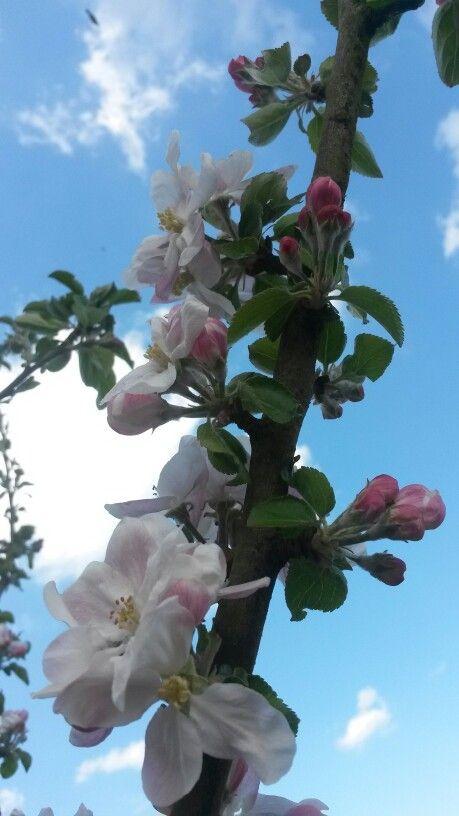 Appelboompje in bloei