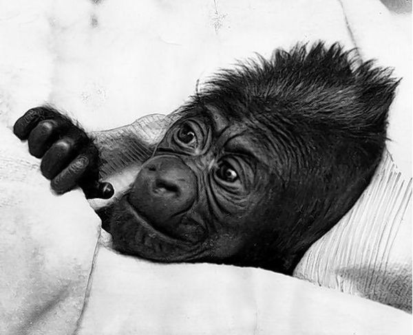 Dec 22, 1956: First gorilla born in captivity.  On this day in 1956, a baby gorilla named Colo enters the world at the Columbus Zoo in Ohio, becoming the first-ever gorilla born in captivity. Weighing in at approximately 4 pounds, Colo, a western lowland gorilla whose name was a combination of Columbus and Ohio, was the daughter of Millie and Mac, two gorillas captured in French Cameroon, Africa, who were brought to the Columbus Zoo in 1951.